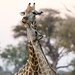 "Giraffe in Okavango Delta, Botswana • <a style=""font-size:0.8em;"" href=""https://www.flickr.com/photos/21540187@N07/8293296295/"" target=""_blank"">View on Flickr</a>"