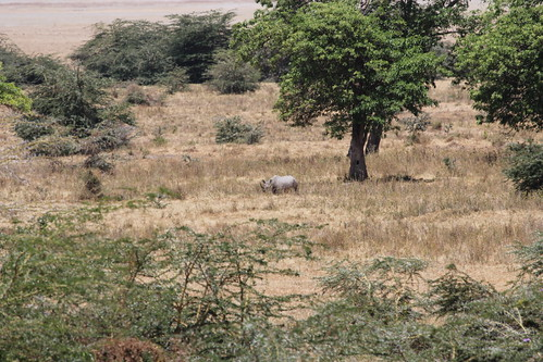 Rhino in Ngorongoro Crater (9)