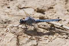 Orthetrum brunneum - Zuidelijke oeverlibel (henk.wallays) Tags: france macro nature up insect close dragonflies dragonfly wildlife odonata libel libelulle odonate orthetrum zuidelijke rousson oeverlibel brunneum roussondag7rivier