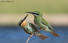 Blue cheeked Bee-eater  --   () Tags: blue birds bin sultan 12 qatar beeeater  cheeked       avianexcellence qatarbirds    binsultan lesnafi