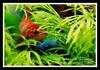LTankv02.0_Inhabittants (mukyo) Tags: beta sae barbs betta angelfish neontetra rummynosetetra cherryredshrimps