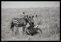 Smile for the camera B&W (Ania Dembny) Tags: africa canon wildlife zebra zebras masaimara 5dmkii aniajones copyright2014aniajones copyright2013aniajones copyright2012aniajones copyright2011aniajones copyright2010aniajones aniadembny aniadembnylrps