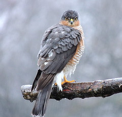 a lovely present for christmas morning sparrowhawk (ivorrichardk) Tags: achristmasdaysparrowhark