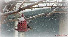 Happy Holidays 2012 (McKenzie's Photography) Tags: life christmas winter holiday snow bird season landscape fly wildlife wing aviary feed