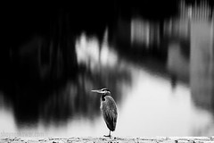 focus (SkowerPhotography) Tags: birds animals dallas freebird blackandwhitephotography freeasabird animalphotography shayneskower shaneskowers shayneskowers waterreflectionsphotography