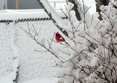 Indiana Cardinal in the Snow (Crumblin Down) Tags: county red white snow bird martin cardinal indiana co loogootee