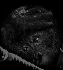Despair (chmeermann   www.chm-photography.com) Tags: portrait bw zoo blackwhite eyes nikon sad portrt ape sw augen nikkor schwarzweiss lowkey gelsenkirchen orang utan affe traurig menschenaffe 18135 d80 zoomerlebniswelt mygearandme