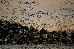 Snow Geese (57rroberts) Tags: nature outdoors nikon delaware lewes snowgeese shorebirds finegold lewesde nikond7000 fineplatinum finediamond