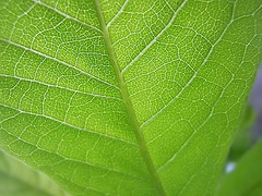 Green Life (Rachel.Chalkley) Tags: trees summer plant macro tree green nature beautiful beauty up closeup forest photography leaf spring cool stem woods nikon close natural gorgeous awesome vivid stunning veins lovely forests edit photoeffects subjective nikonl120