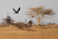 Montagu's Harrier in flight (Ingeborg van Leeuwen) Tags: birds inflight circus ethiopia harrier circuspygargus awash nonpasserines pygargus