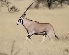 Beisa Oryx (Wild Chroma) Tags: ethiopia oryx awash oryxbeisa beisa