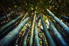 backyard (hoodoo youdo) Tags: leica 50mm 14 rangefinder bamboo asph m9 summiluxm alienskinexposure m9p