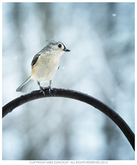 Tufted Titmouse (MDunckley) Tags: winter snow bird nature animal wildlife tuftedtitmouse backyardwildlife nikon85mmf14d nikoncapturenx2 nikond7000 mdunckley mikedunckleyphotography