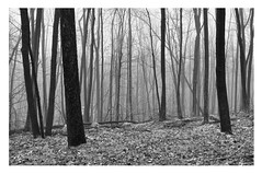 Misty Woods (RobYas) Tags: trees blackandwhite bw newjersey woods nj x100 fujix100