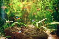 25940036 (dinborough) Tags: plants fish amanda water canon aquarium kodak fil tetra analogue portra aquascape apistogramma microgeofagus