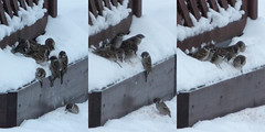 Feeding habits, part 2 (Sergei Golyshev) Tags: winter nature birds feeding wildlife flock birding feeder telephoto sparrow domesticus passer