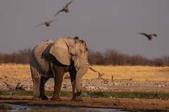 Elephant by a waterhole (Kuba Abramowicz) Tags: world africa park travel wild elephant nature water birds outdoors grey nikon scenery outdoor wildlife scenic southern national vista afrika namibia etosha namib afryka d80