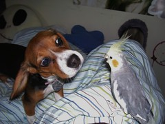 Lexie & Peaches 040107-5 (THE Halloween Queen) Tags: dog bird beagle dogs puppy hound purebred tricolored purebreed