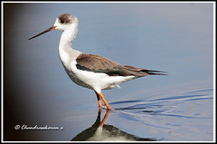 2738 - black-winged stilt (chandrasekaran a 546k + views .Thanks to visits) Tags: india nature birds chennai blackwingedstilt tamron200500mm canon60d