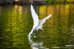Fishing Part 1 / Taipei, Taiwan (yameme) Tags: bird nature animal canon taiwan explore taipei       cksmemorialhall littleegret egrettagarzetta    5d3 5dmarkiii  70300mmlis