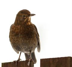 Female blackbird (markrellison) Tags: winter snow bird female fence iso800 wildlife 300mm blackbird whiteout speckled lightroom f40 perching wildbird 1320sec gardenbird lr4 ef300mmf4lisusm canoneos7d lightroom4