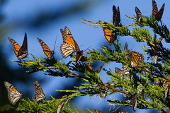 Monarch Butterflies at Pacific Grove (peace-on-earth.org) Tags: california usa butterfly unitedstates pacific grove monarch pacificgrove migration peaceonearthorg