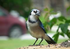 Watch Out! (vtpeacenik) Tags: bird vermont july bluejay