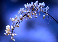 Asian Bugbane, winterkilled (love_child_kyoto) Tags: winter flower macro nature  masterphotos  artisticflowers kamchatkabugbane cimicifugasimplex  nikond800  mindigtopponalwaysontop   asianbugbane