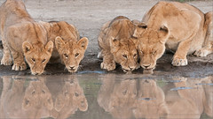 Lion Family on the Waters Edge (Raymond J Barlow) Tags: africa travel colour art nature tanzania wildlife ngc adventure npc teaching groupshot 200400vr allnaturallight nikond300 raymondbarlowtours