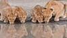 Lion Family on the Waters Edge (Raymond J Barlow) Tags: africa travel colour art nature tanzania wildlife ngc adventure npc teaching groupshot 200400vr allnaturallight nikond300 raymondbarlowtours