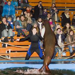 Ouwehands Dierenpark - Zeeleeuwenshow-2530 (Quistnix!) Tags: show netherlands zoo nederland sealion rhenen ouwehands dierenpark zeeleeuw zeeleeuwen 2013 dierenparkouwehands zeeleeuwenshow ouwehandszoo