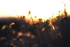 18/365. (Donavan Johnson) Tags: california lighting camera sunset plants sun cold canon lens photography 50mm prime exposure flickr glare bokeh johnson experiment photographs lensflare 365 dslr challenge facebook t3i 50mmf18 donavan primelens 600d cs6 cs5 365project tumblr donavanjohnson donavanjohnsonphotographs