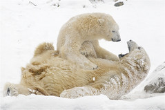 let the fun begin (ucumari) Tags: columbus ohio snow zoo january polarbear anana ursusmaritimus nanook 2013 specanimal dsc0664 ucumariphotography mygearandme mygearandmepremium mygearandmebronze mygearandmesilver mygearandmegold mygearandmeplatinum mygearandmediamond vigilantphotographersunite vpu2 vpu3 vpu4 vpu5 vpu6 vpu7 vpu8 vpu9 vpu10