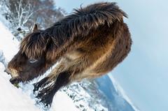 sometimes this is the only way ... (devonteg) Tags: snow robin snowflakes oak nikon mare thistle january bracken birch beech grazing exmoor filly gorse 2013 wintercoats exmoorponies 70300mm4556vr d7000 naturesgreenpeace myfavouritefoal