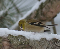 Goldfinch in the snow (psiegle) Tags: goldfinch