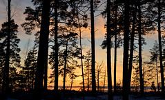 Seurasaari (fede_gen88) Tags: helsinki suomi finland europe winter cold snow sunset seurasaari island silhouette trees branches woods nature nikon d5100