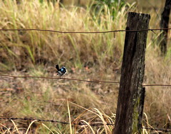 IMG 7469 Blue Wren (Eminpee Fotography) Tags: nature birds australia bluewren