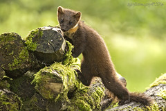 Pine Martin (Ross Forsyth - tigerfastimagery) Tags: scotland wildlife perthshire wild mammal pine martin pinemartin kit logs nature youngster animalplanet fantasticwildlife