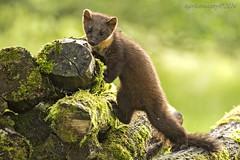 Pine Martin (Ross Forsyth - tigerfastimagery) Tags: scotland wildlife perthshire wild mammal pine martin pinemartin kit logs nature youngster animalplanet fantasticwildlife