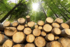 Wooden Logs with Forest on Background (studio-kobaltis) Tags: wood wooden woodpile trees trunk logs pile pine beech woodland forest forestry deforestation lumber firewood industry timber flora log cut nature horizontal energy hardwood bark section chop sunrays bottom outdoors green wall stack background detail rural plants brown chopped material environment heap fuel natural primaryproducts biomass workable plant resource felled italy