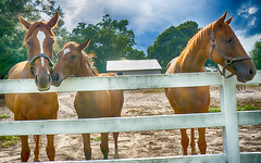 Thoroughbreds (Sonia'sGallery) Tags: building bysoniaa farm flickr flickrsoniasgallery flickrsoniaargenio green mwf meadowwoodfarms ocala ocalafl soniaargenio trees white barn blue clouds fence filly florida harness horses red shed sky thoroughbred threeboardfence