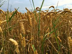 Ein Weizen Feld (10.000 Schritte) Tags: weizen getreide feld