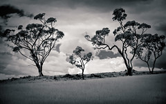 IR - trees (Bright Sparrow) Tags: ir infrared hoya72 trees