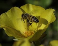 Bee_SAF3567 (sara97) Tags: bee copyright2016saraannefinke flyinginsect insect missouri nature outdoors photobysaraannefinke pollinator saintlouis towergrovepark urbanpark wildlife inflight