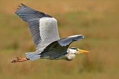 The flight of the Heron - o voo da Gara (Yako36) Tags: netherlands zaanseschans bird birdwatching ave nature natureza wildlife nikond7000 nikonafs300f4