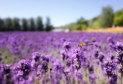 Farm Tomita (___chisato___) Tags: nature   flower lavender    hokkaido
