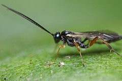 Small Ichneumon wasp #4 (Lord V) Tags: macro bug insect wasp ichneumon