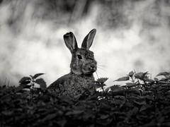 Rabbit (Marc Gommans) Tags: bunny rabbit blackwhite zwartwit dxo outdoor nature wildanimal omd olympus em1 tamron300mmf56m42 manuallens m42mftadaptor venray thenetherlands noiretblanc blackandwhite monochrome