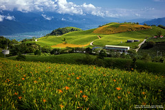 (nodie26) Tags:                hualien taiwan flower yellower  beautiful lily  landscape canon 6d 50mm f18 stm