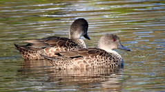 Grey Teal (njohn209) Tags: birds nikon p900 nz